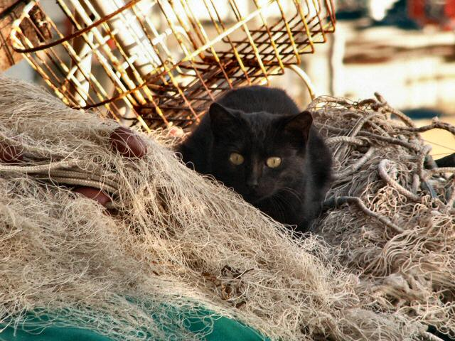 fisherman's cat